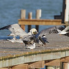Brown Pelican with Forster's Terns and Laughing Gulls