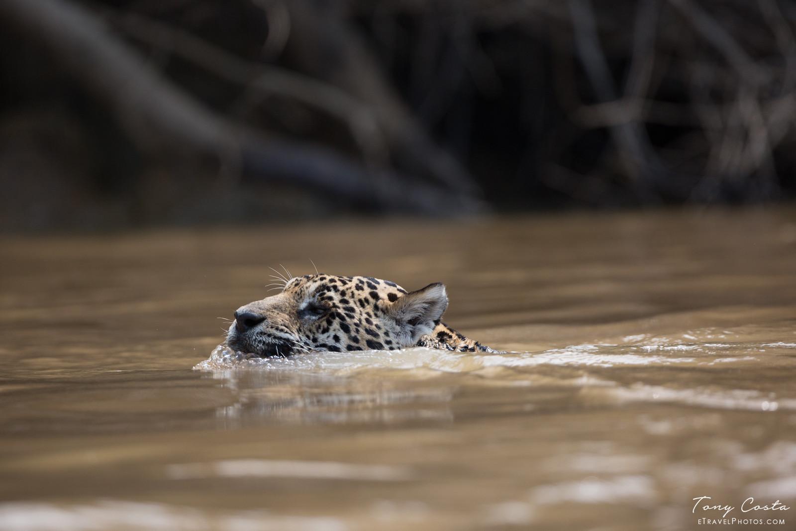 Jaguar Swimming