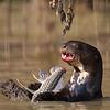 Giant River Otter eating a Loricariidae
