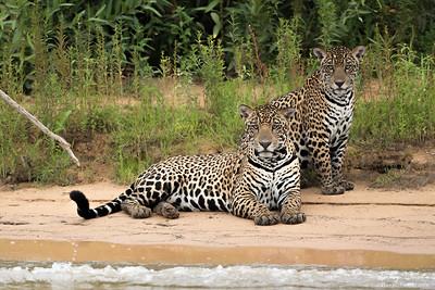 Two Jaguars