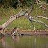 A Jaguar in the Piquiri River