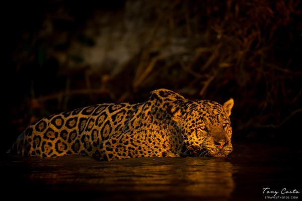 Jaguar in water