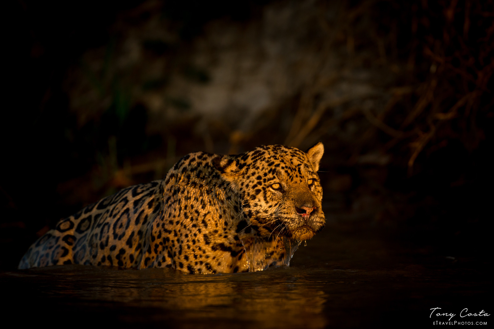 Jaguar in water