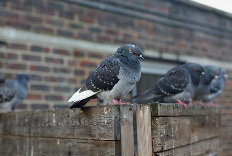 Pigeon, Leytonstone 17/11/2017