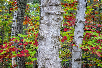 PRNL White Birch Grove