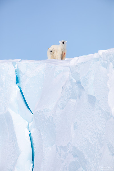 Polar Bears on an Iceberg