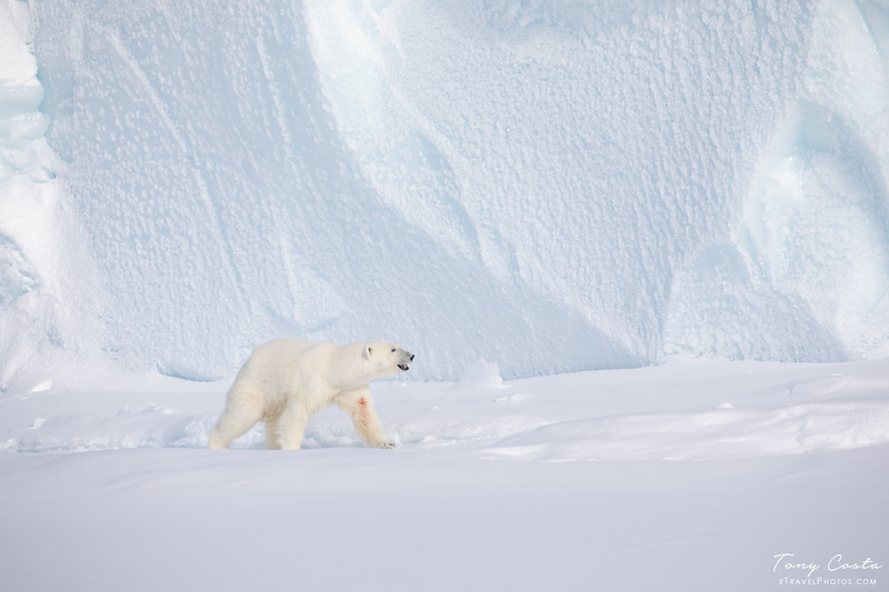 Polar Bear on sea ice near Baffin Island