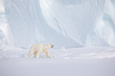 Polar Bear on sea ice near Baffin Island