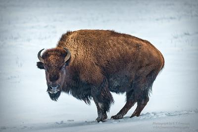 Wintering Bison