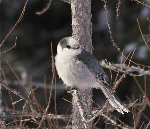 Canada Jay (formerly Gray Jay)