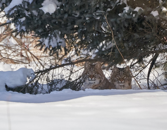 Bobcats Watching Us From Under a Tree