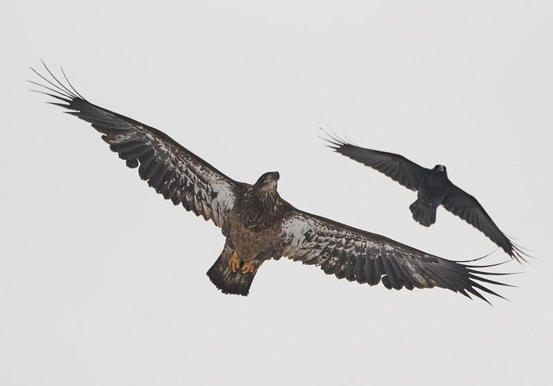 Bald Eagle (Juvenile) with Common Raven