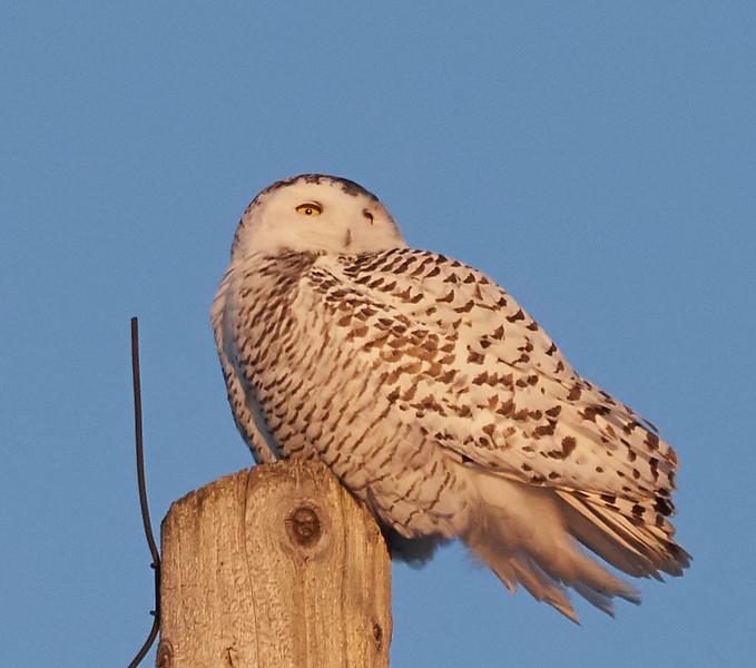My Lifer Snowy Owl
