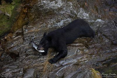 Black Bear with Salmon
