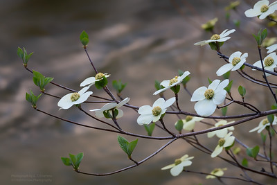 Yosemite Spring Dogwood Bloom