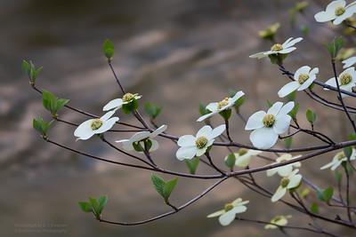 Yosemite Spring Dogwood Bloom