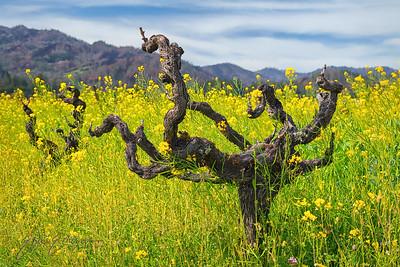 Spring Mustard in Napa Valley