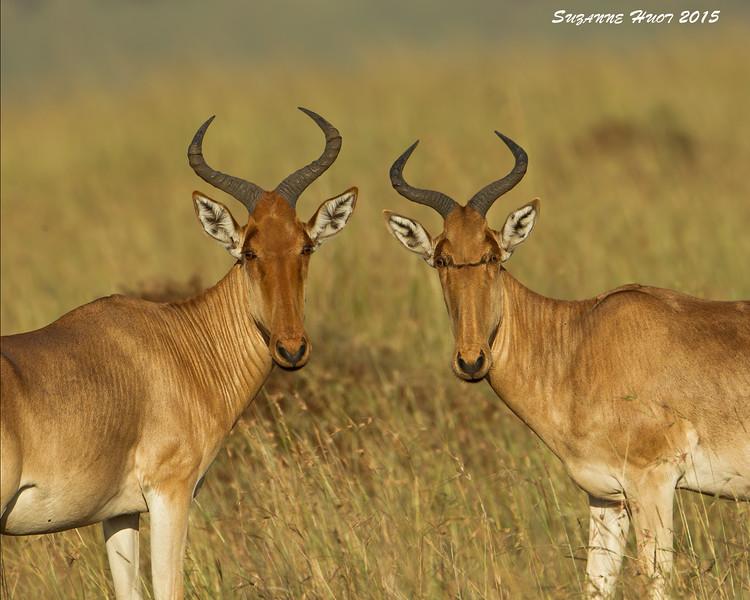 Hartibeest . Mara triangle  Kenya.