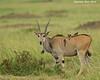 Eland with Oxpeckers. Masai Mara Triangle.  Kenya.