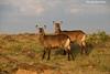 Pair of female Waterbuck.  Mara Triangle, Kenya.
