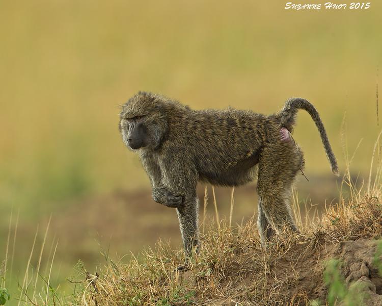 Itchy Baboon , Mara Triangle  Kenya.