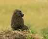 Pensive Baboon.  Mara Triangle  Kenya.