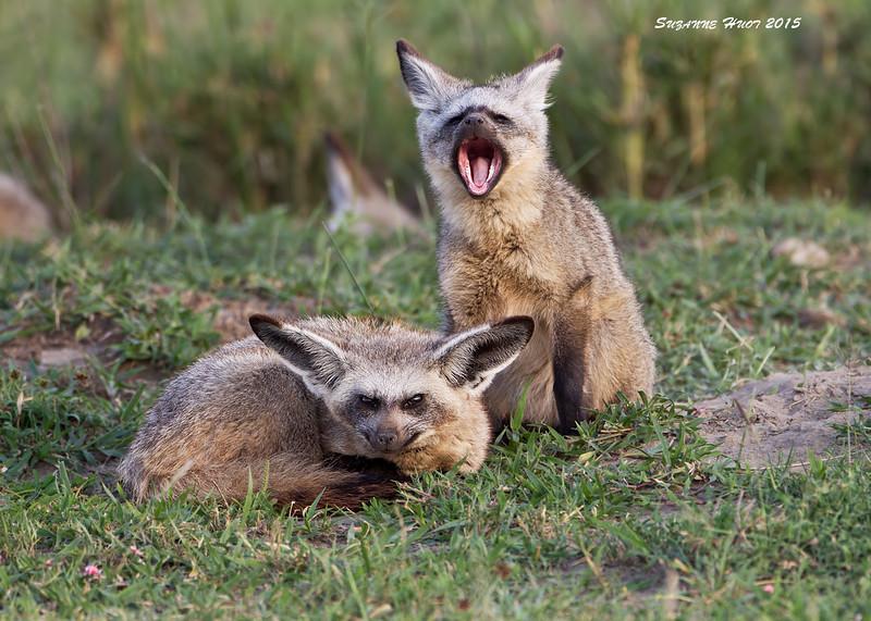 Sleepy Bat-eared Fox. Ndutu , Tanzania.