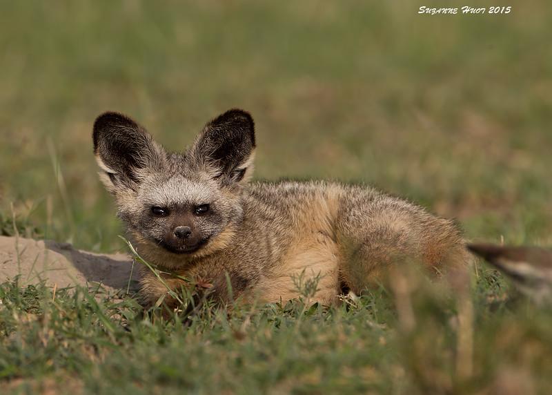 Bat-eared Fox outside the den.