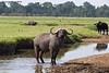 Cape Buffalo,  Mara Triangle , Kenya.