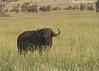 Cape Buffalo. Serengeti Plains.