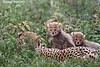 Curious Cheetah cubs . Ndutu ,Tanzania.