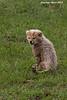 3 week old Cheetah Cub. Masai Mara. Kenya.