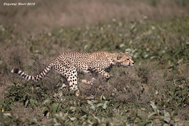 Hide and seek .Ndutu Cub.