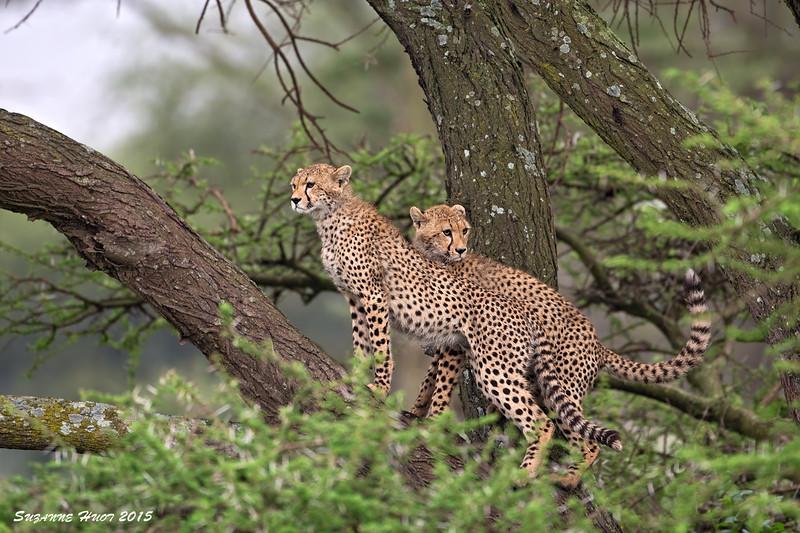 Kings of the castle.  Ndutu  Tanzania.