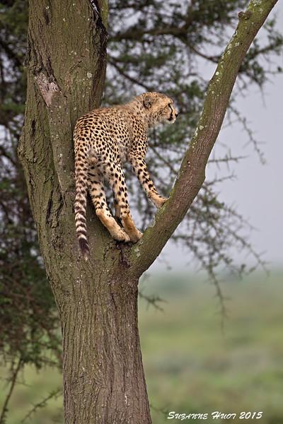 Adventurersome  Cheetah Cub. Ndutu ,Tanzania.
