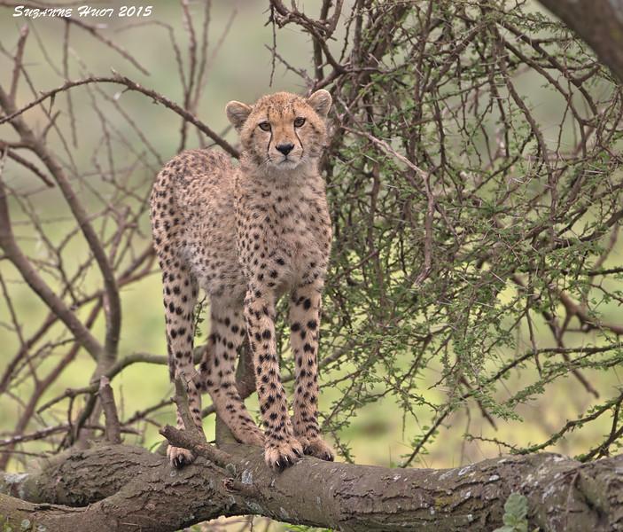 Tree climbing Cheetah cub.