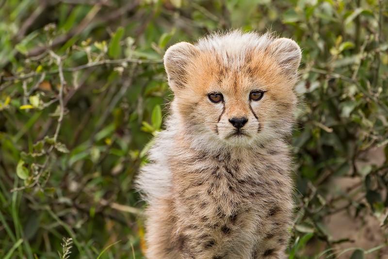 Cheetah Cub. three weeks old