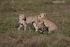 Cheetah cubs at play.