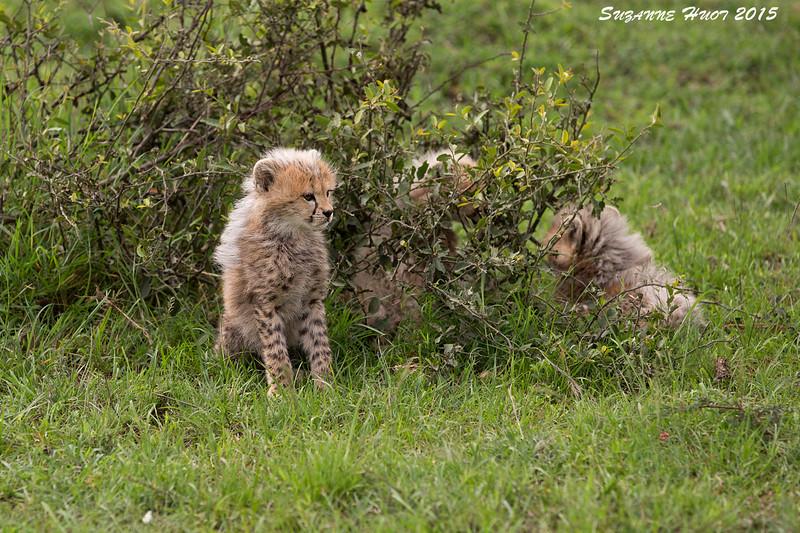 Trio of very young Cheetah cubs. Masai Mara , Kenya.