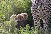 Cheetah Cubs being hidden by Mother.