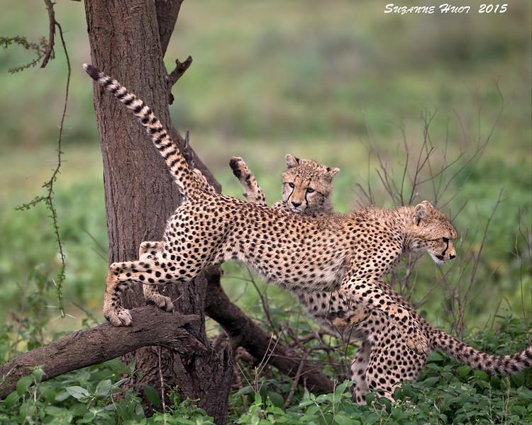 Cheetah cubs having fun.  Ndutu,  Tanzania.