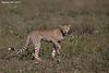 Cheetah cub,