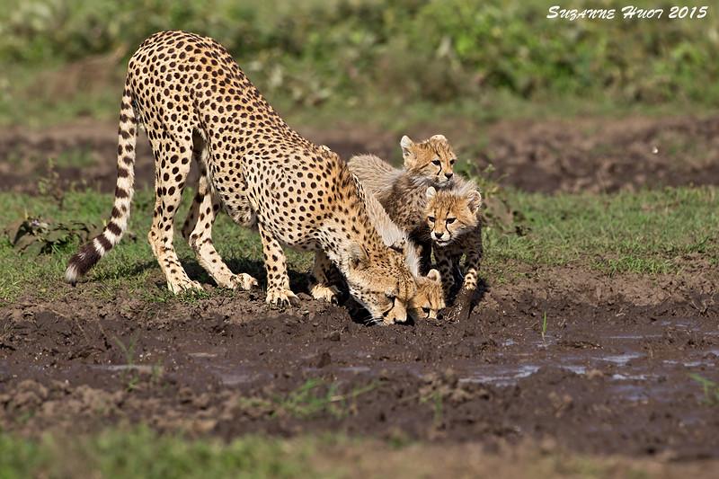 Thirsty Cheetah Family.  Ndutu Plains , Tanzania.