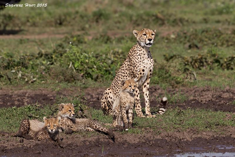 Cheetah family at a small muddy water hole.