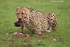 Cheetah devouring an unlucky Warthog.