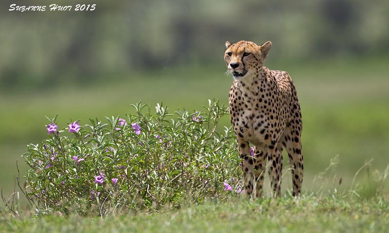 Cheetah mother. Ndutu plains , Tanzania.