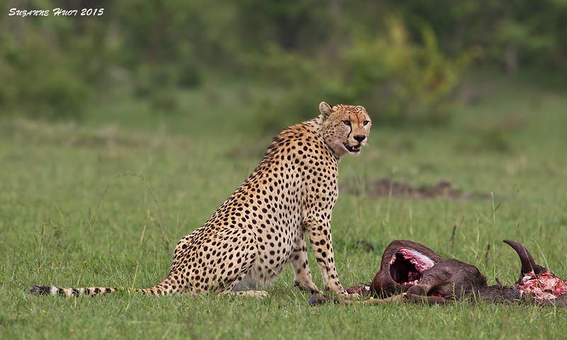 Cheetah with Wildebeest Kill. Masai Mara, Kenya