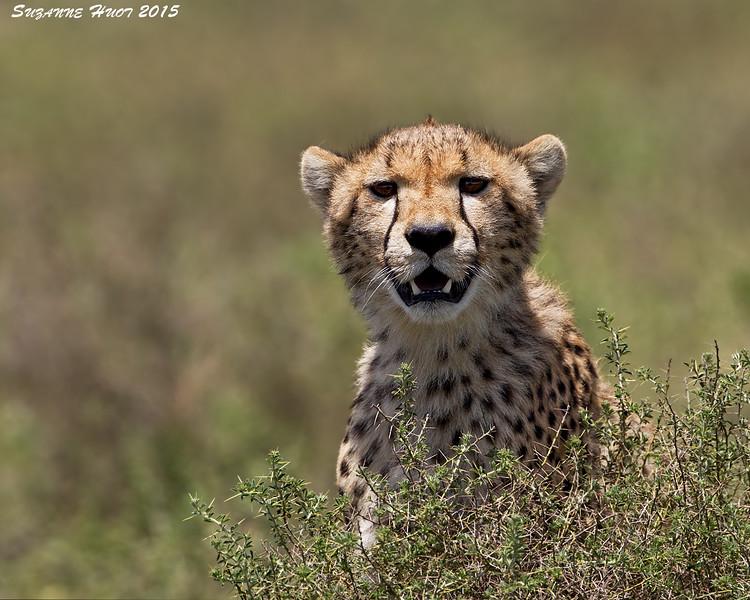 Cheetah Mother. Ndutu, Tanzania.