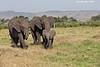Mara Triangle Elephants.