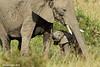 Protective Mother. Mara Triangle , Kenya.